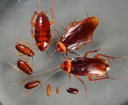 вывод тараканов